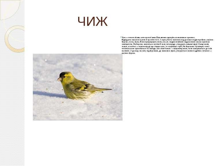 ЧИЖ Чиж — птаха лісова, але в теплі зими його можна зустріти в населених пунк...