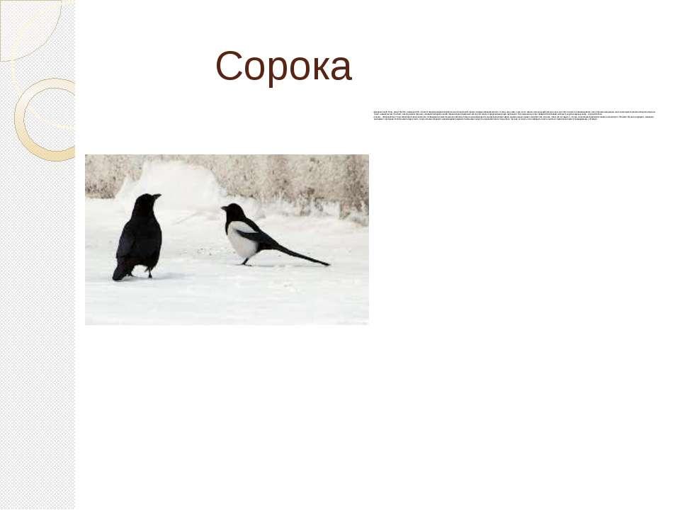 Сорока Довжина тіла 45-50 см, маса 150-250 г, розмах крил 55—58 см. В Україні...
