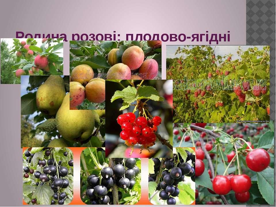 Родина розові: плодово-ягідні