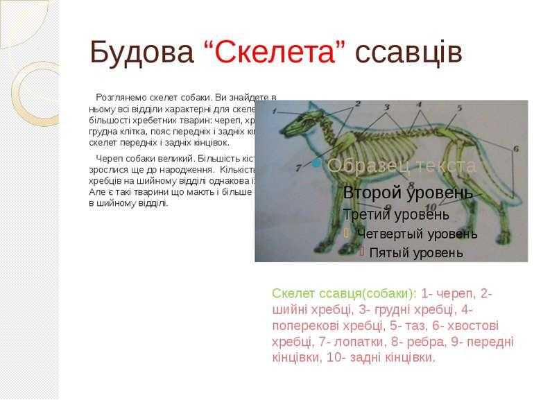 """Будова """"Скелета"""" ссавців Розглянемо скелет собаки. Ви знайдете в ньому всі ві..."""