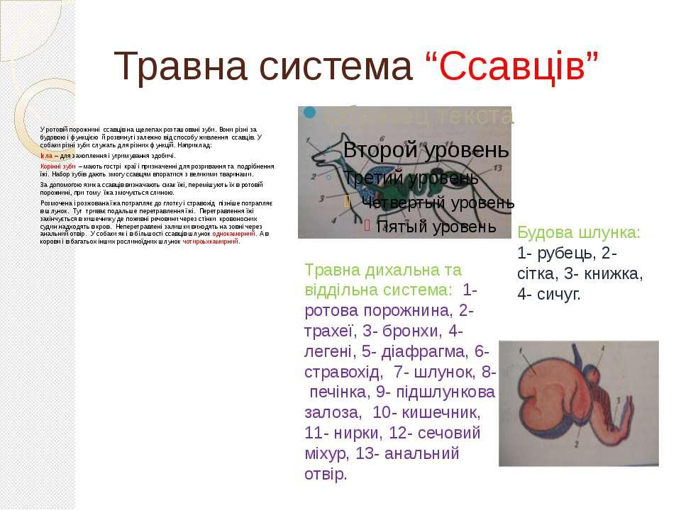 """Травна система """"Ссавців"""" У ротовій порожнині ссавців на щелепах розташовані з..."""