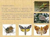 У бджілок є вороги. Це птахи — бджолоїдки та сорокопуди, міль, метелик «мертв...