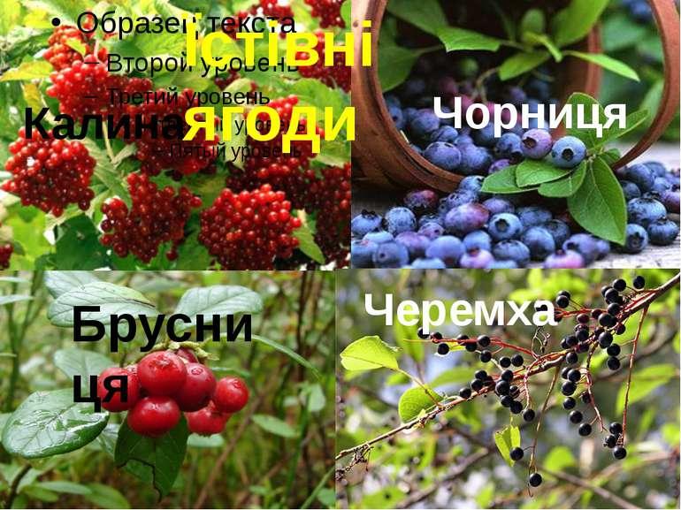 Калина Брусниця Чорниця Черемха Їстівні ягоди