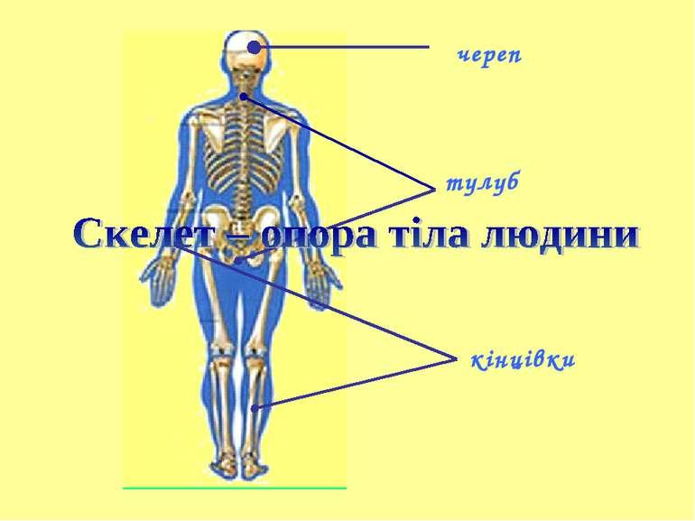 череп тулуб кінцівки