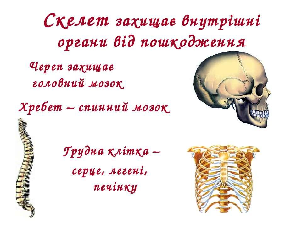 Скелет захищає внутрішні органи від пошкодження Череп захищає головний мозок ...