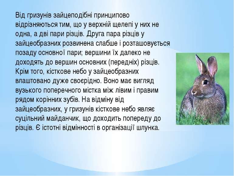 Від гризунів зайцеподібні принципово відрізняються тим, що у верхній щелепі у...