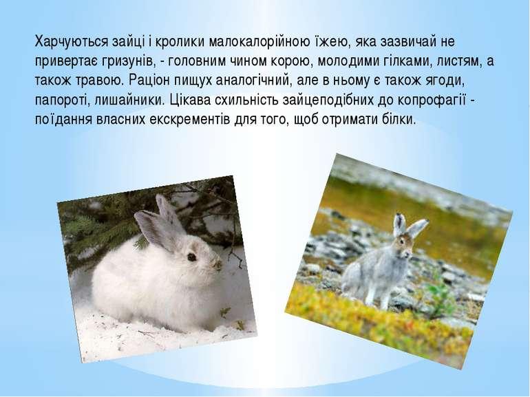 Харчуються зайці і кролики малокалорійною їжею, яка зазвичай не привертає гри...