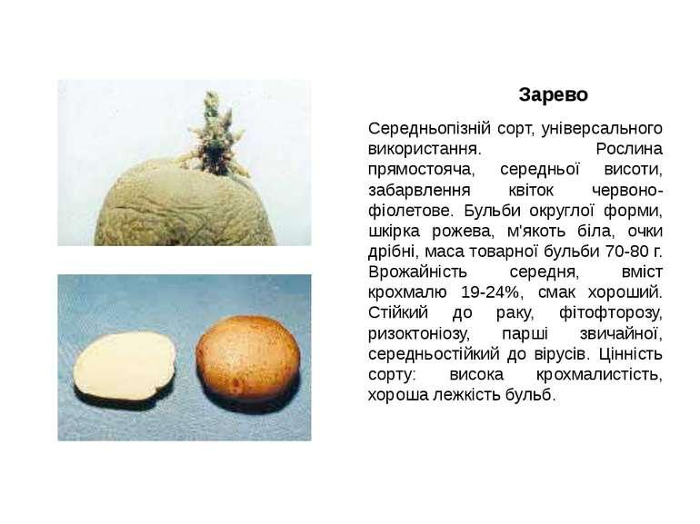 Зарево Середньопізній сорт, універсального використання. Рослина прямостояча,...