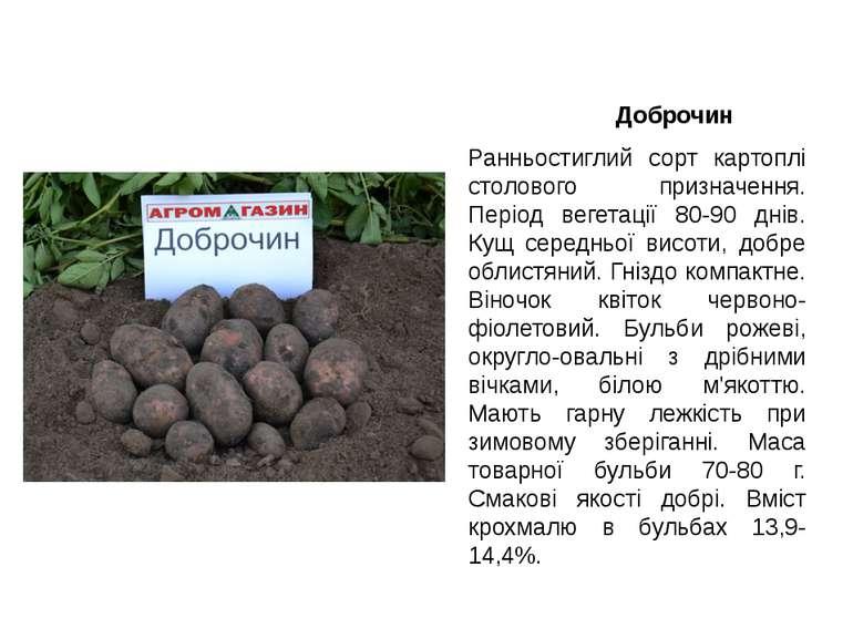 Доброчин Ранньостиглий сорт картоплі столового призначення. Період вегетації ...