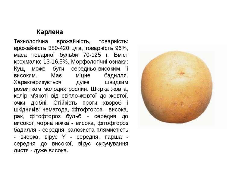 Карлена Технологічна врожайність, товарність: врожайність 380-420 ц/га, товар...