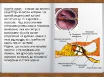 Кортіїв орган – апарат, що містить рецептори й опорні клітини. На кожній реце...