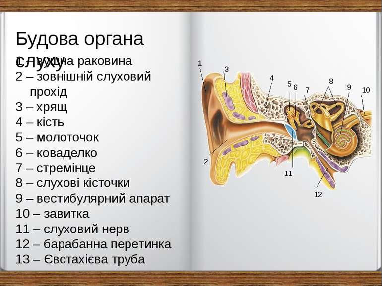 1 2 3 4 5 11 8 9 10 12 1 – вушна раковина 2 – зовнішній слуховий прохід 3 – х...