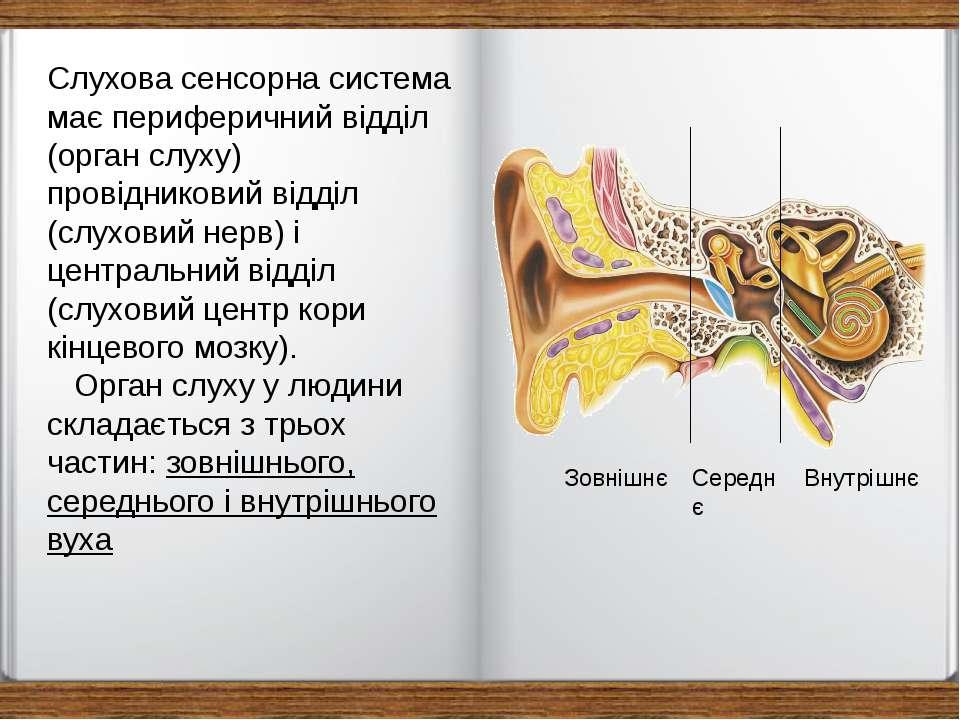 Слухова сенсорна система має периферичний відділ (орган слуху) провідниковий ...