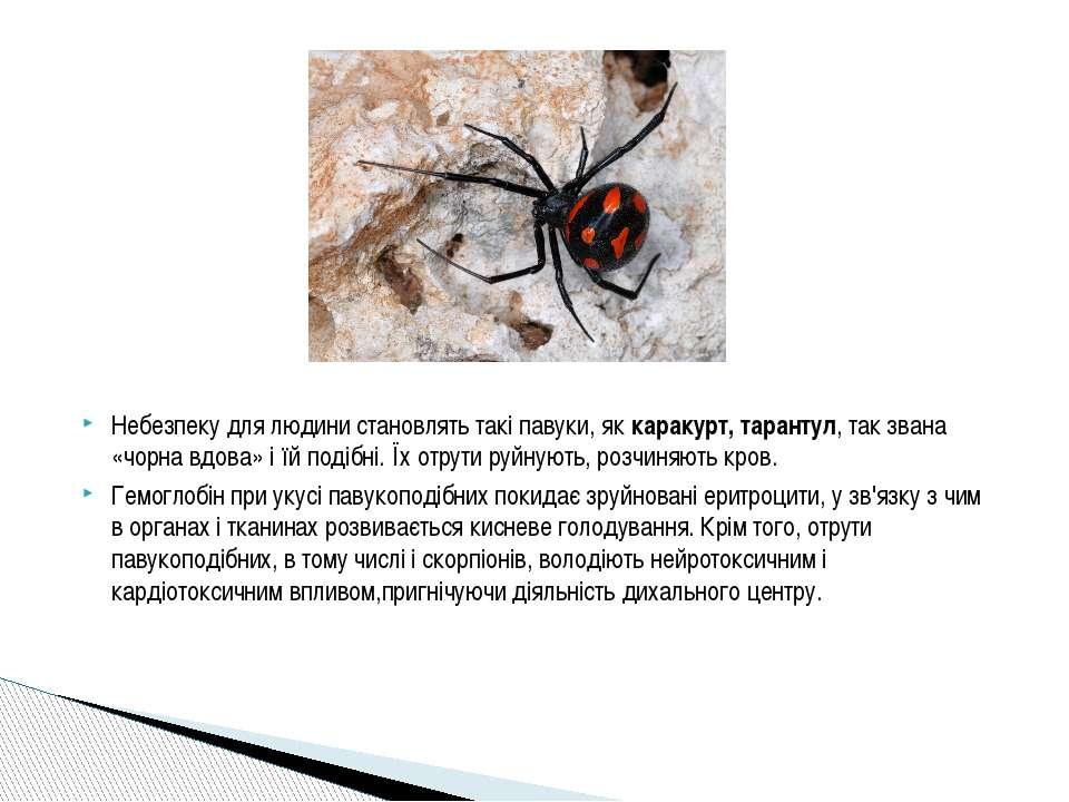 Небезпеку для людини становлять такі павуки, яккаракурт, тарантул, так звана...