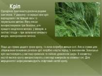 Кріп Однорічна трав'яниста рослина родини зонтичних. У давнину і в середні ві...