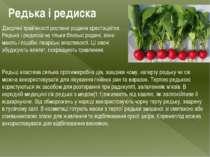 Редька і редиска Дворічні трав'янисті рослини родини хрестоцвітих. Редька і р...