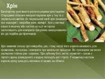 Хрін Багаторічна трав'яниста рослина родини хрестоцвітих. Стародавні слов'яни...