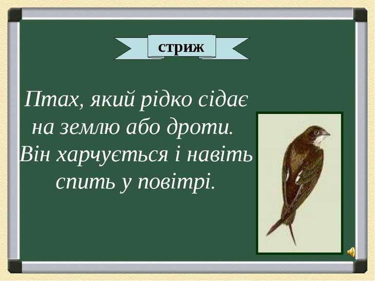 стриж Птах, який рідко сідає на землю або дроти. Він харчується і навіть спит...