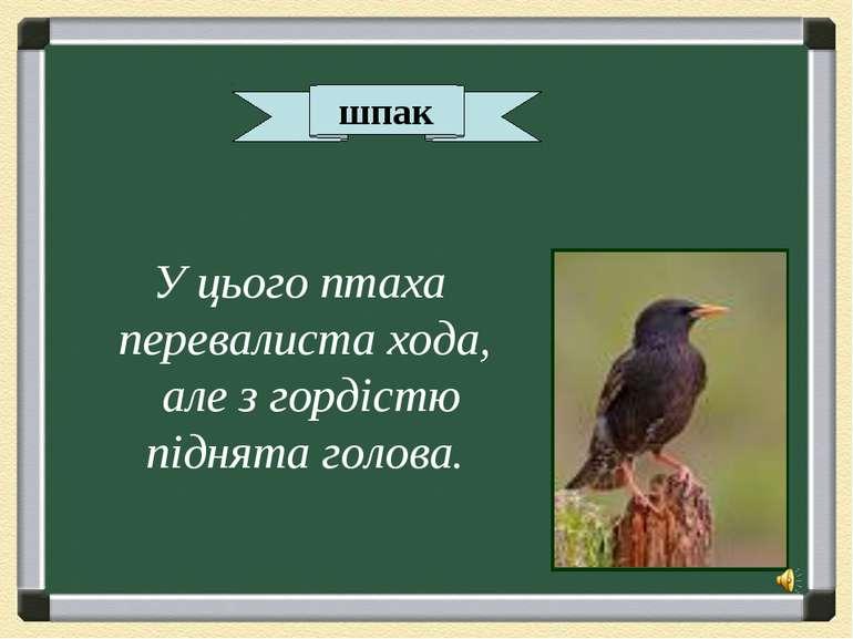 шпак У цього птаха перевалиста хода, але з гордістю піднята голова.