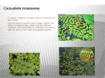 Сальвінія плаваюча Сальвінія плаваюча.Ця водна папороть поширена по всій Укр...