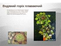 Водяний горіх плаваючий Він трапляється по всій території України. Водяний г...