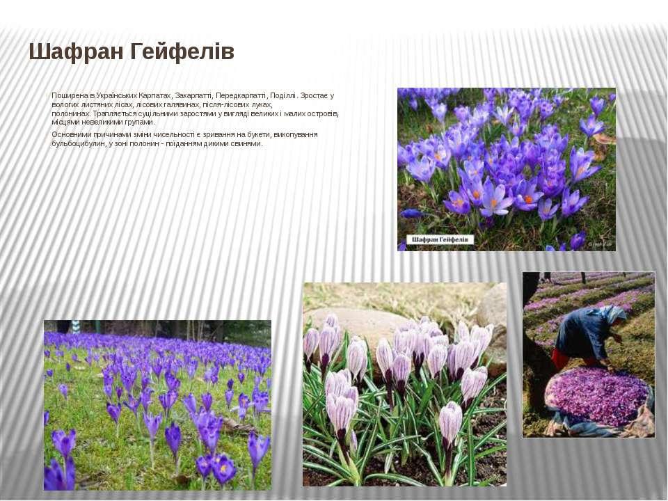 Шафран Гейфелів Поширена в Українських Карпатах, Закарпатті, Передкарпатті, П...