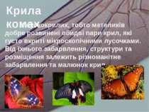 У лускокрилих, тобто метеликів добре розвинені обидві пари крил, які густо вк...