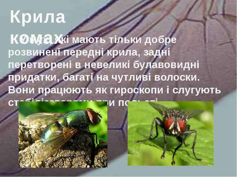 У мух, які мають тільки добре розвинені передні крила, задні перетворені в не...