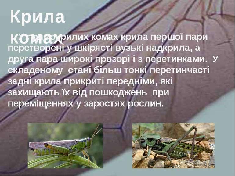 У прямокрилих комах крила першої пари перетворені у шкірясті вузькі надкрила,...