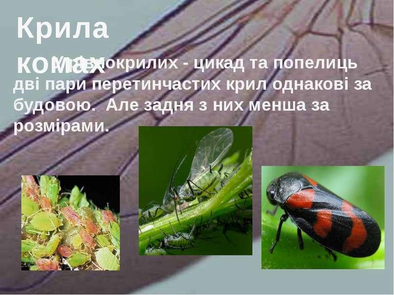 У рівнокрилих - цикад та попелиць дві пари перетинчастих крил однакові за буд...