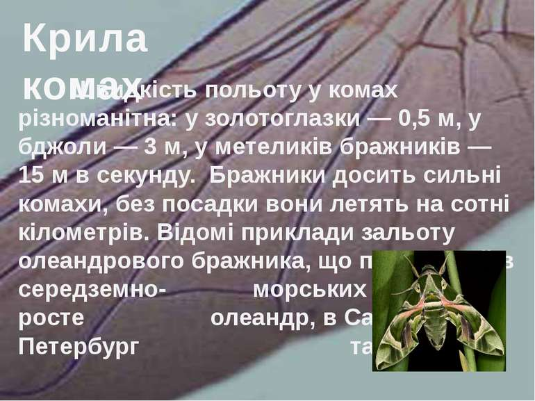 Швидкість польоту у комах різноманітна: у золотоглазки — 0,5 м, у бджоли — 3 ...