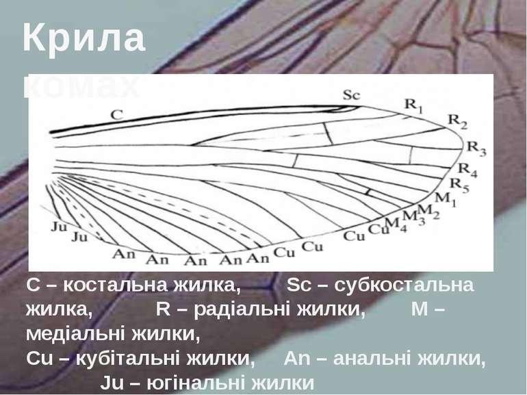 C – костальна жилка, Sc – субкостальна жилка, R – радіальні жилки, М – медіал...