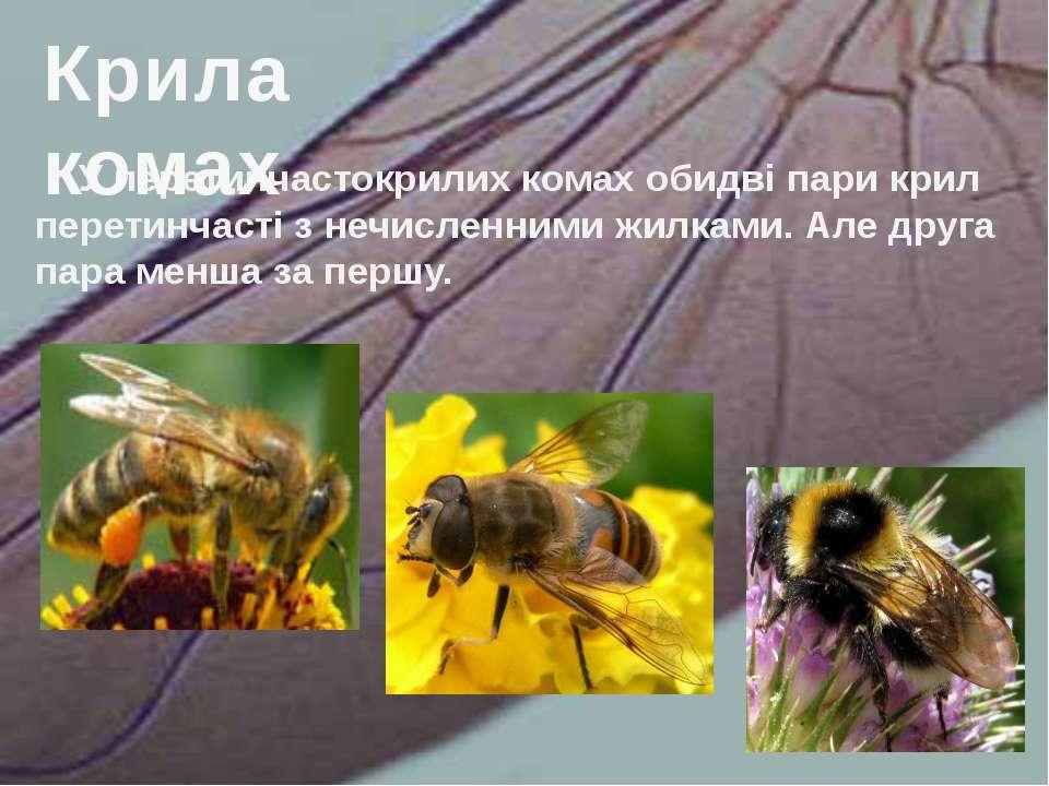 У перетинчастокрилих комах обидві пари крил перетинчасті з нечисленними жилка...