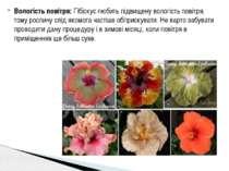 Вологість повітря: Гібіскус любить підвищену вологість повітря, тому рослину ...