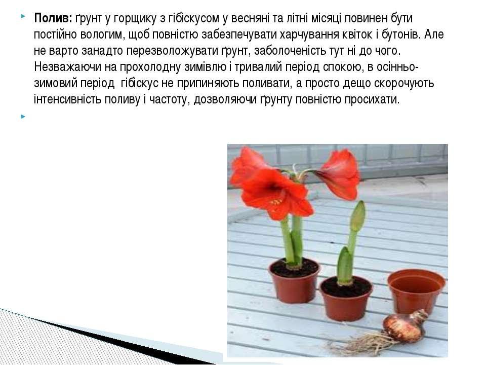 Полив: ґрунт у горщику з гібіскусом у весняні та літні місяці повинен бути по...
