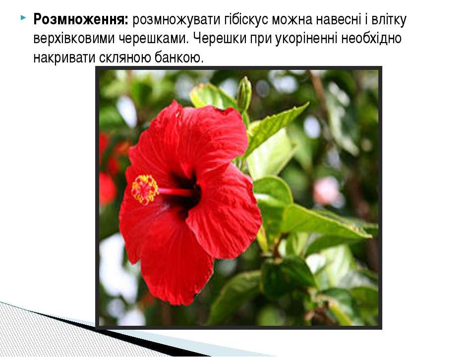 Розмноження: розмножувати гібіскус можна навесні і влітку верхівковими черешк...