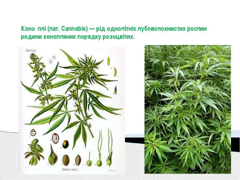 Коно плі (лат. Cannabis) — рід однолітніх лубоволокнистих рослин родини коноп...