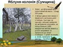 Яблуня-колонія (Сумщина) Зовні - це яблуневий кущ, орієнтовний вік якого - по...