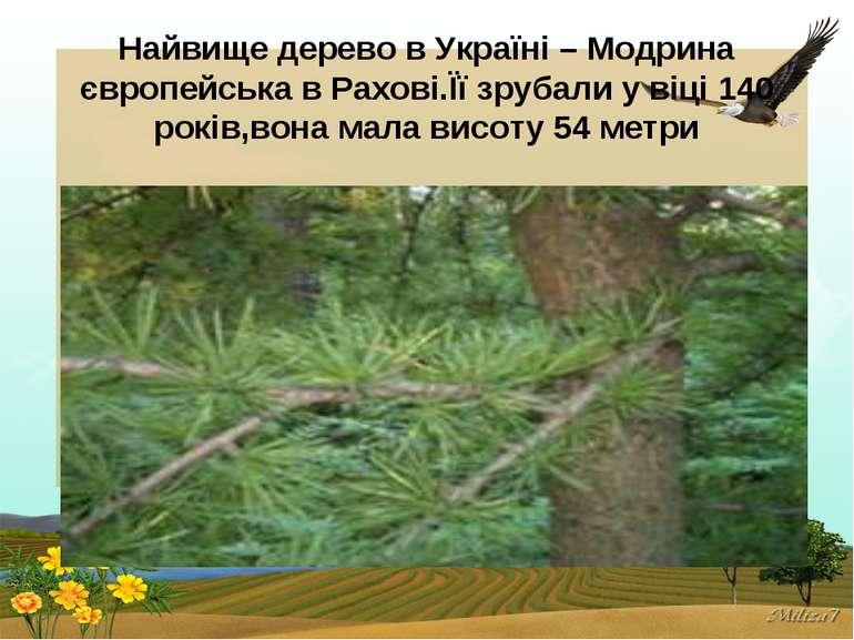 Найвище дерево в Україні – Модрина європейська в Рахові.Її зрубали у віці 140...