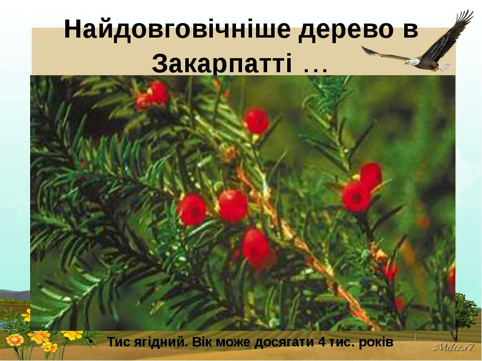 Найдовговічніше дерево в Закарпатті… Тис ягідний. Вік може досягати 4 тис. р...
