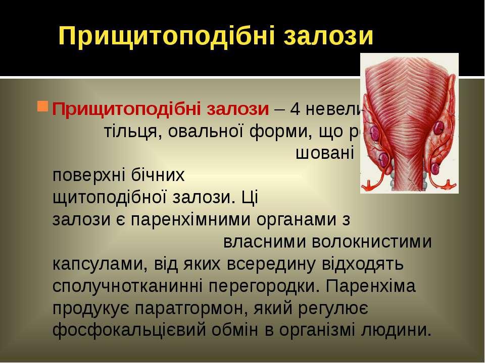 Прищитоподібні залози – 4 невеликі тільця, овальної форми, що розта- шовані н...