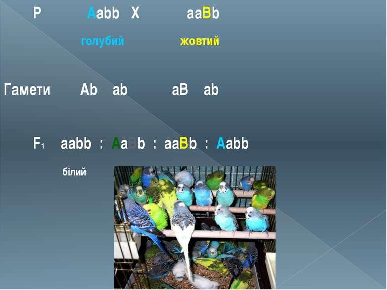 Р ♀ Aabb Х ♂ aaBb голубий жовтий Гамети Ab ab aB ab F1 aabb : AaBb : aaBb : A...