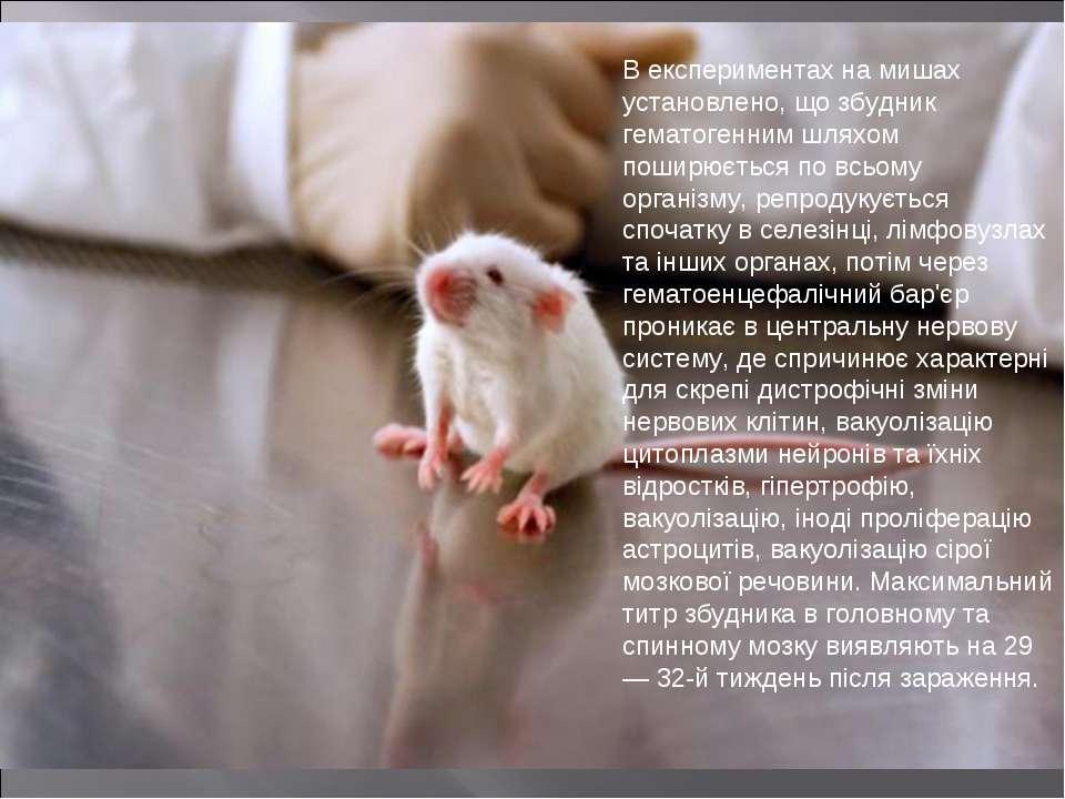 В експериментах на мишах установлено, що збудник гематогенним шляхом поширюєт...
