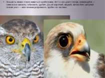 Більшість хижих птахів живиться хребетними. Кігті в них довгі і гострі, гачко...