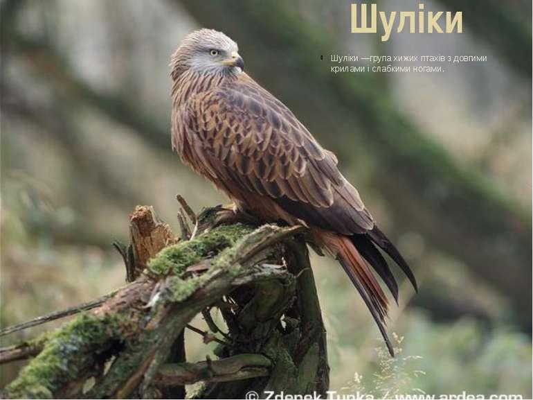 Шуліки Шуліки—групахижих птахівз довгими крилами і слабкими ногами.