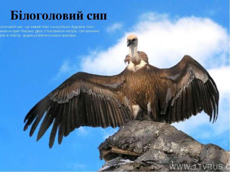 Білоголовий сип Білоголовий сип - це хижий птах з могутньою будовою тіла і ро...