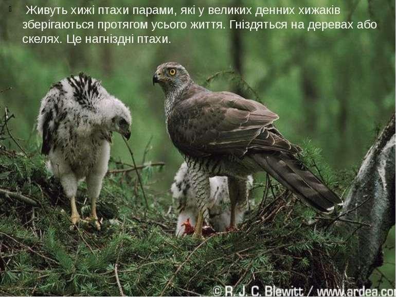 Живуть хижі птахи парами, які у великих денних хижаків зберігаються протягом...