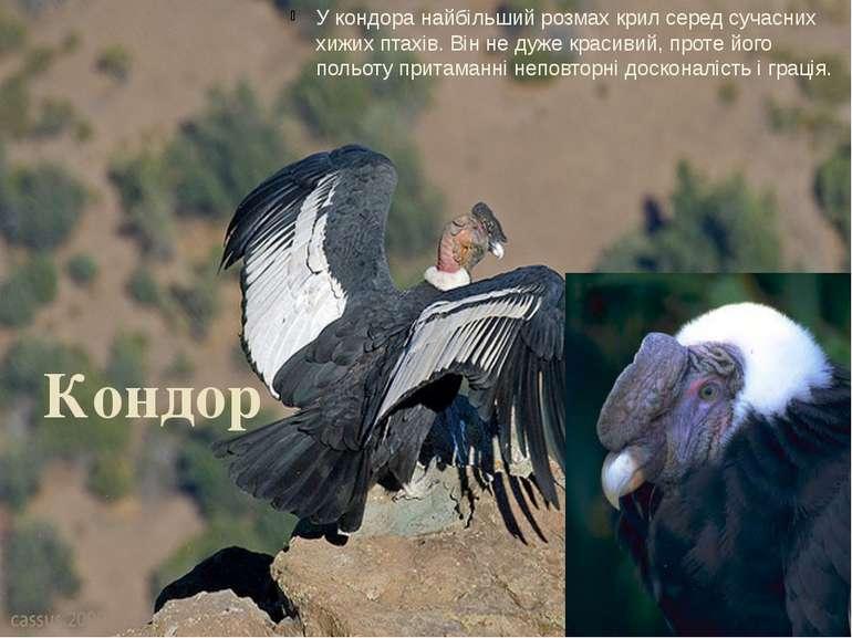 Кондор У кондора найбільший розмах крил серед сучасних хижих птахів. Він не д...