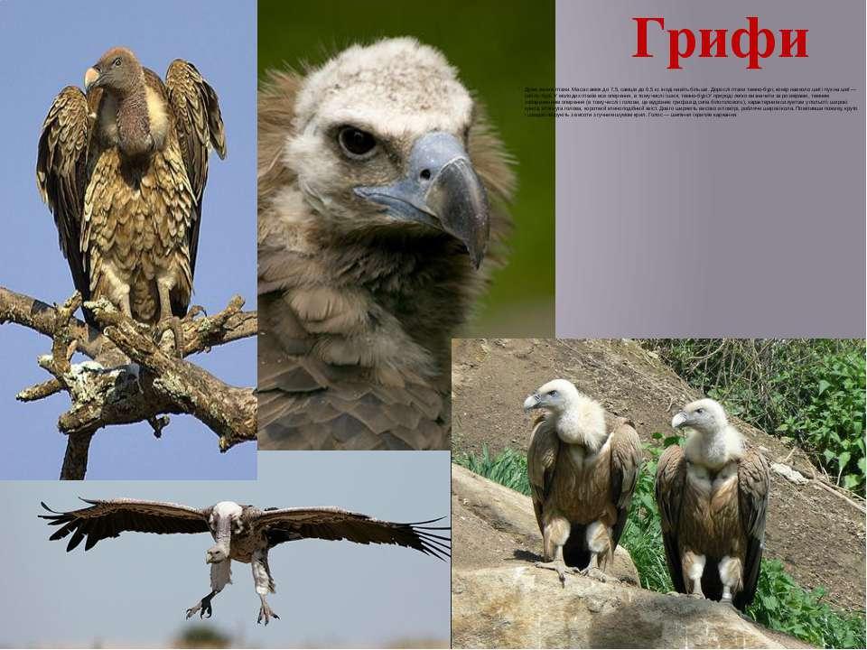 Грифи Дуже великі птахи. Маса самок до 7,5, самців до 6,5кг, іноді навіть бі...