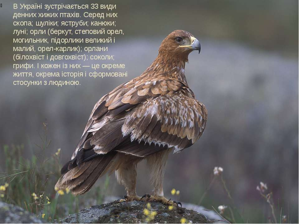 В Україні зустрічається 33 види денних хижих птахів. Серед них скопа; шуліки;...